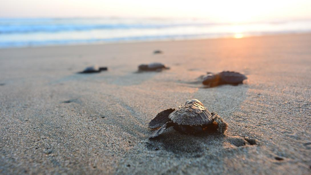 Travellers protect baby sea turtles as part of their Conservation work in Mexico.